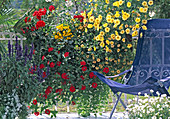 Argyranthemum 'Butterfly', Pel. Grand Prix