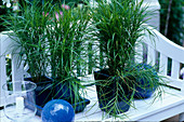 Grasses in blue pots, Carex muskingumensis (palm fronds)