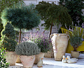 Picea, Pinus as Stem, Santolina, Nepeta, Acer japonicum,