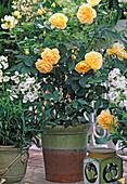 Shrub rose 'Garden architect Günther Schulze'