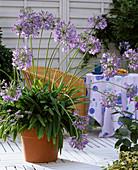 Agapanthus campanulatus (lily)