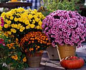 Dendranthema 'Garden-Mums', 'Dreamstar Demi'