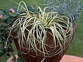 Carex 'Ever Bright'