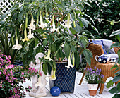Datura arborea 'Bad Salzschlierf'