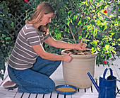 Potted plants care, application of permanent fertilizer