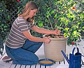 Potted plants care, application of permanent fertilizer