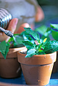 Solanum rantonnetii, Stecklingsvermehrung 9. Step