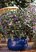 Hebe X andersonii (shrub veronica)