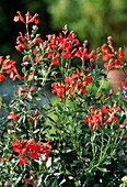 Salvia microphylla (currant sage)