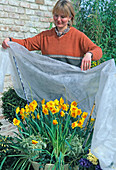 Protect premature spring onions with danger of late frosts with fleece