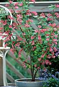 Ribes sanguineum 'King Edward'