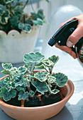 Leaf geranium cuttings propagation