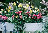 Tulipa 'Artic', 'White Triumphator', Bellis perennis