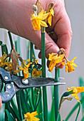 Narcissus nach der Blüte abschneiden
