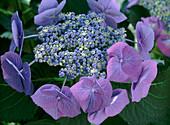 Hydrangea macrophylla 'Blue Tit'