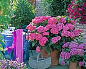 Hydrangea macrophylla 'Beautiful Baitnerin', 'Amsterdam'