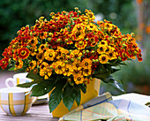 Helenium hybrid, sun bride