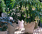 White potted plants with Datura suaveolens (angel trumpet)