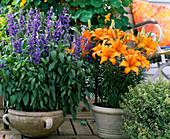 Salvia farinacaea (Ornamental sage, Lilium)