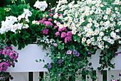 Pelargonium 'White', Ageratum 'Blue Danube'