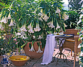Datura arborea (Angel Trumpet) 'Summer Dream')
