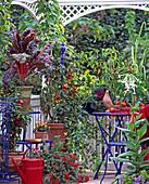 Paprika (Capsicum annuum), 'Pritavit', 'Pinokkio'