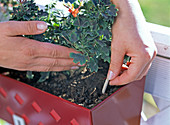 Permanent fertilizer for balcony flowers in the shape of a stick