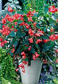 Begonia hybrid 'Dragon Wing'