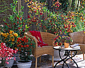 Berry decorations on the terrace-Pyracantha coccinea-thorn, Euonymus alata