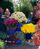 Dendranthema Dream-Star Breeding Garden-Mums 'Tentai', 'Sharon'