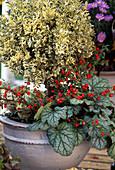 Buxus Trunks, Cotoneaster (Rock Mistletoe)
