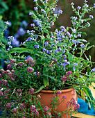 Pot with anchusa (alkanet), Lobularia maritima