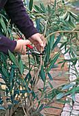 Cut back oleander