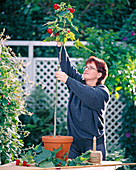 Grow stems from abutilon