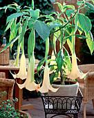 Datura Versicolor 'Apricot Queen', Brugmansia