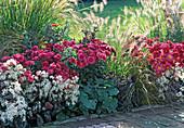 Autumn bed with Dendranthema Garden-Mums Dream-Star
