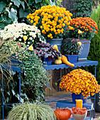 Dendranthema Garden-Mums 'Ziu' (orange), 'Taku' (white),