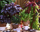 Autumn Magic Perennials, 'Heuchera', 'Amethyst Myst', Euphorbia, Lysimachia 'Goldilocks'