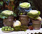 Brassica oleracea (ornamental cabbage)