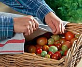 Grüne Tomaten zum Nachreifen in einem luftigen Korb