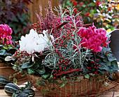 Cyclamen persicum, Calluna vulgaris, Helichrysum italicum, Hedera ivy