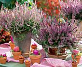 Calluna vulgaris 'Marlies', 'Romina', budding summer heather