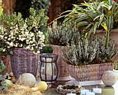 Pernettya mucronata (peat myrtle), Calluna vulgaris 'Alice', Carex