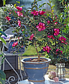 Camellia sasanqua 'Hiruyu'