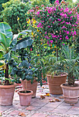 Heat-loving potted plants early into winter quarters