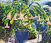 Datura hybrid, (Brugmannsia) 'Little Lady'