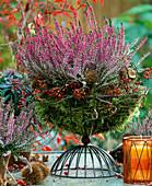 Calluna vulgaris 'Marleen' (summer heather)