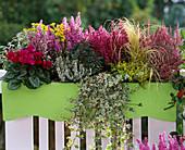 Kasten mit Cyclamen, Ajania, Erica gracilis, Hedera, Calluna, Euphorbia