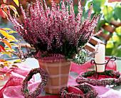 Calluna vulgaris 'Romina', flowering period Sept.-Dec.