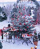 Abies (Nordmann fir) on the terrace, Christmassy
